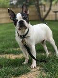 Boston Terrier dans la cour avec l'herbe morte Image stock