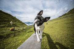 Boston Terrier in de Oostenrijkse Alpen stock fotografie