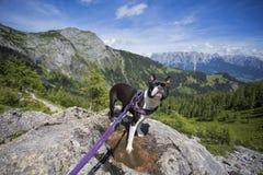 Boston Terrier in de Oostenrijkse Alpen stock afbeelding