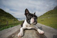 Boston Terrier in de Oostenrijkse Alpen stock foto's