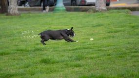 Boston-Terrier, der für Tennisball beim Spielen von Reichweite sich stürzt stockfotografie