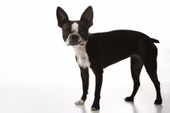 Boston Terrier dog. Royalty Free Stock Photography