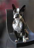 Boston terrier dog. Sitting on a chair royalty free stock images