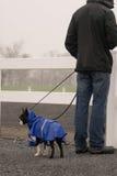 Boston Terrier dog in blue raincoat. Stock Photography
