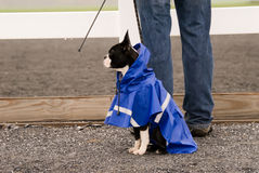 Boston Terrier dog in blue raincoat. Royalty Free Stock Photography