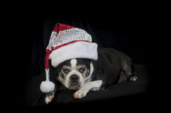 Boston terrier dog with Christmas disguise Royalty Free Stock Image