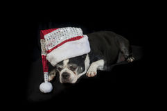 Boston terrier dog with Christmas disguise Stock Photography