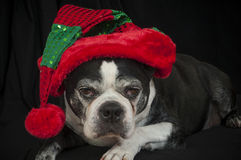 Boston terrier dog with Christmas disguise Royalty Free Stock Photos