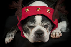 Boston terrier dog with Christmas disguise Royalty Free Stock Images