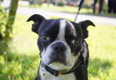 Boston terrier dog. Cute,funny Boston terrier Dog in summer park Royalty Free Stock Photo