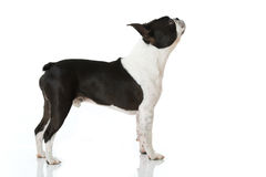 Boston Terrier dog Royalty Free Stock Photo