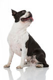 Boston Terrier dog Royalty Free Stock Photography