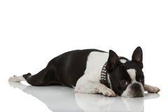 Boston Terrier dog Royalty Free Stock Photos
