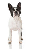 Boston Terrier dog Stock Photos
