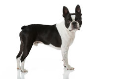 Boston Terrier dog Stock Photography