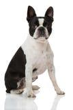 Boston Terrier dog Stock Image