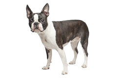 Boston terrier dog Royalty Free Stock Images