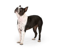Boston Terrier Dog Looking Up Royalty Free Stock Photos