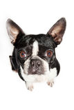 Boston Terrier dog looking up Stock Photos