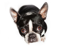 Boston Terrier dog looking up Royalty Free Stock Image