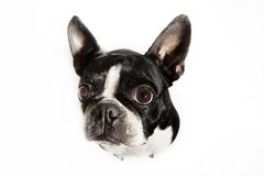Boston Terrier dog looking up Stock Images