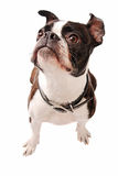 Boston Terrier Dog Looking Up Stock Photography