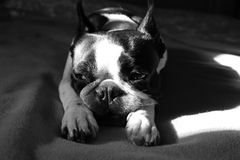 Boston terrier dog napping Royalty Free Stock Photo