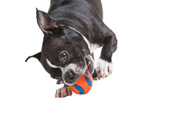 Boston Terrier dog with orange ball Stock Photo