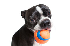 Boston Terrier dog with orange ball Stock Image
