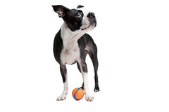 Boston Terrier dog with orange ball. Royalty Free Stock Photos