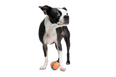 Boston Terrier dog with orange ball. Royalty Free Stock Image