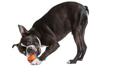 Boston Terrier dog playing with orange ball Royalty Free Stock Photo