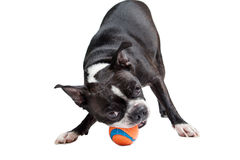 Boston Terrier dog playing with orange ball Stock Images