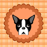 Boston Terrier. Royalty Free Stock Photography