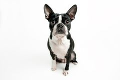 Boston terrier dog sitting Royalty Free Stock Photography
