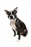 Boston terrier dog sitting Royalty Free Stock Images