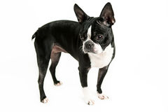 Boston terrier dog Stock Images