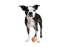 Boston Terrier dog standing with orange ball Stock Photo