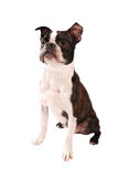Boston Terrier Dog Standing Royalty Free Stock Photos