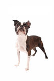 Boston Terrier Dog Standing on White Royalty Free Stock Images