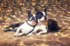 Boston terrier dogs laying on sand on a sunny day Royalty Free Stock Images