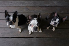 3 boston terrier dogs sit on wood floor and look at camera Royalty Free Stock Image