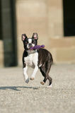 Boston Terrier with dogtoy. Portrait of a young Boston Terrier running and fetching a pink dogtoy Stock Photos