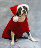 Boston Terrier dressed for Christmas Royalty Free Stock Image
