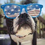 Boston Terrier enfrenta o tiro que veste vidros da bandeira dos EUA Fotografia de Stock