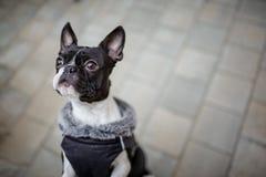 Boston Terrier Royalty Free Stock Photo
