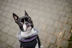Boston Terrier Royalty Free Stock Image