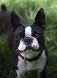 Boston Terrier with Expressive Face Stock Photography
