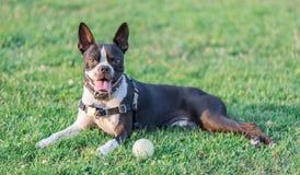 Free Boston Terrier Female Resting. Stock Images - 123337574