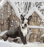 Boston terrier Stock Photos